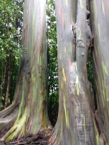 Rainbow eucalyptus trees on road to Hana