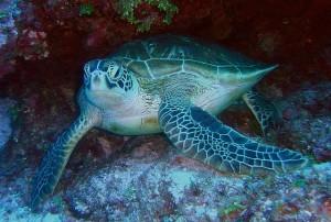 green-sea-turtle-79945_640